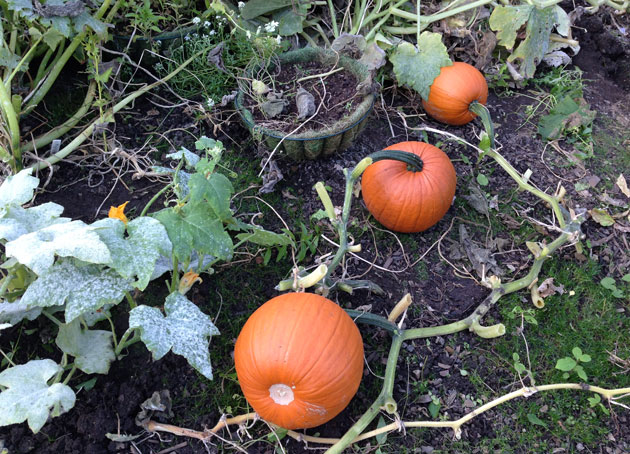 pumpkins-patch