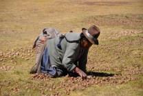 Chinchero, donna che raccoglie patate