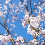 春爛漫、小田原城の外壁塗装工事が完了