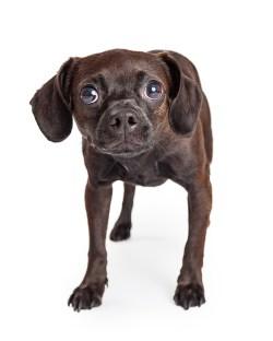 Small Of Alaskan Noble Companion Dog