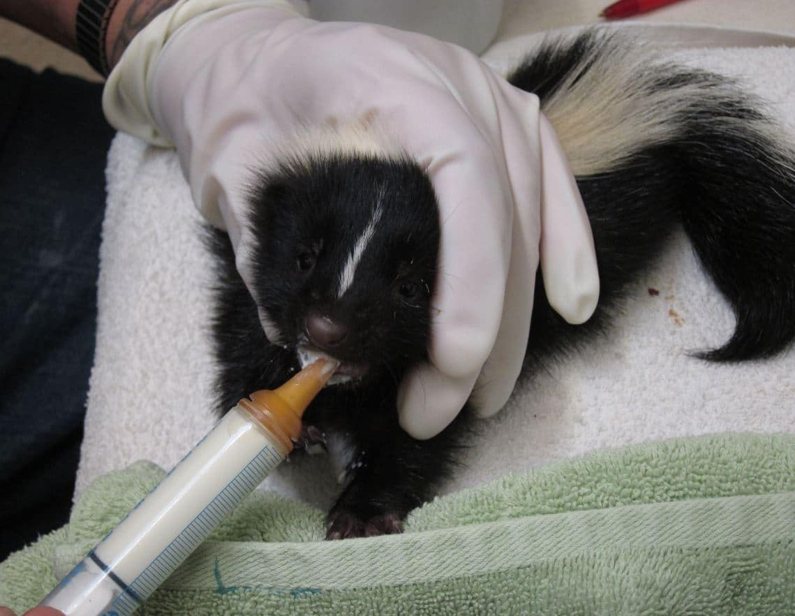 Sweet Baby Skunk Nursing At Photo By Alison Hermance Baby Skunks At Wildcare Wildcare Can Skunks Climb Or Jump Can Skunks Climb A Wooden Fence houzz 01 Can Skunks Climb