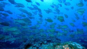Nasendoktorfischschwarm