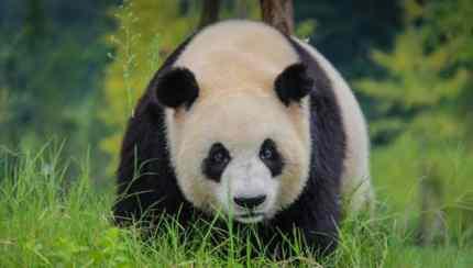 Giant Panda Chengdu China Divergent Travelers
