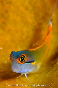 One of the most colourful photogenic blennies out there...