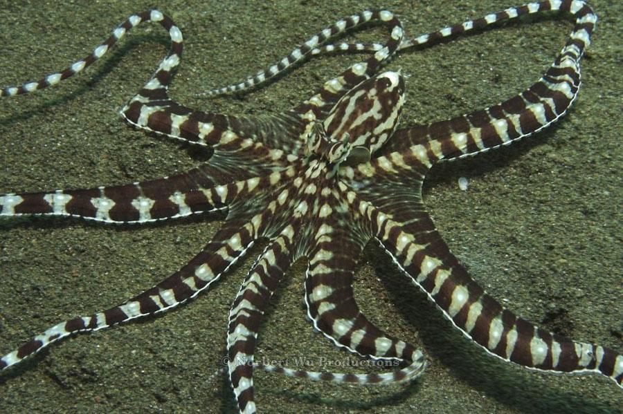 Mimic Octopus Crab Mimic Octopus