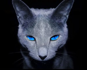 133685_kot-spojrzenie-niebieskie-oczy