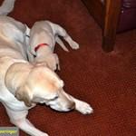 Sporty Labrador Retriever