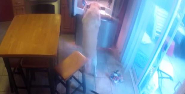 yellow lab goes to the fridge