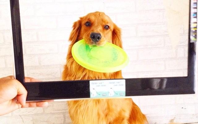 Dog Actor Profile: Serena the Golden Retriever