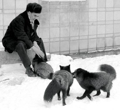 The Domesticated Silver Fox