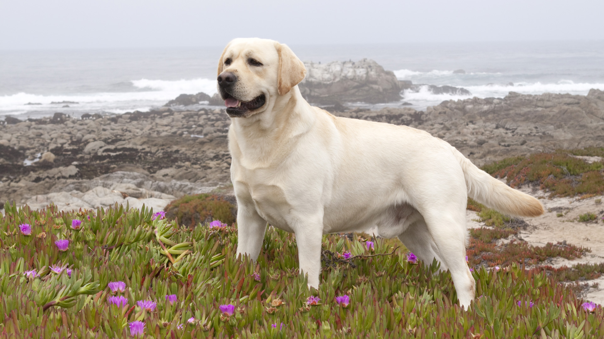 Peculiar Names Labrador Retriever Image Gallery Labrador Retriever Dog Photos Dogexpress Big Dog Breeds Large Dog Breeds S bark post Big White Dog Breeds