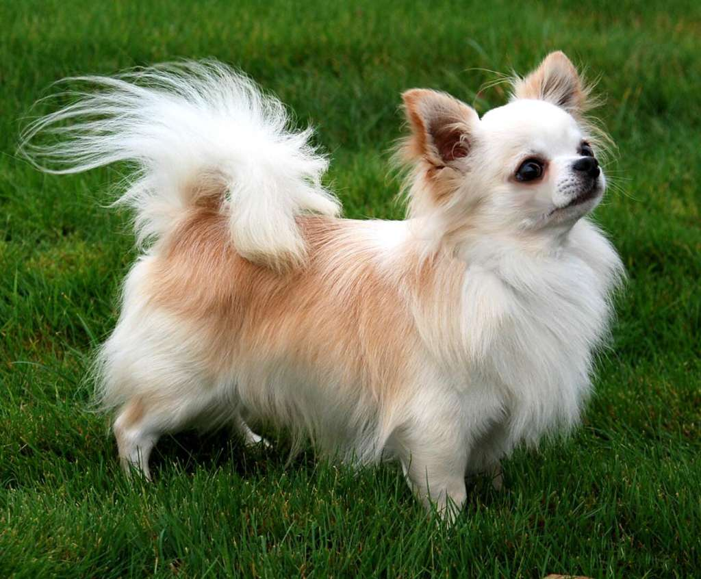 Majestic Chihuahua Is Smallest Dog Breed Most Affectionate Dog Breeds Dogexpress Most Affectionate Dog Breeds Pug Most Affectionate Dog Breeds Reddit bark post Most Affectionate Dog Breeds