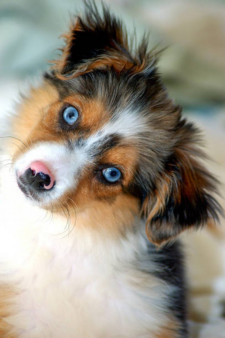 Fullsize Of Blue Eyed Dogs