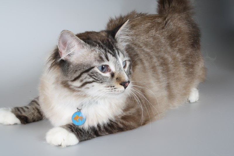 Large Of Cat Id Tags