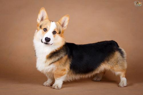 Medium Of Corgi Pomeranian Mix