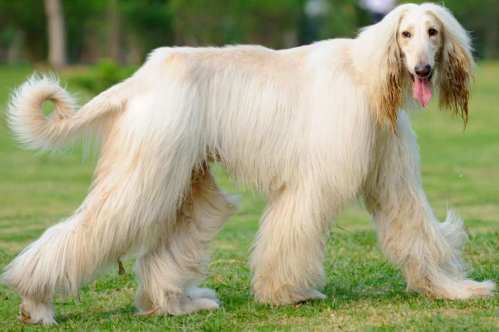 Medium Of Long Hair Dog