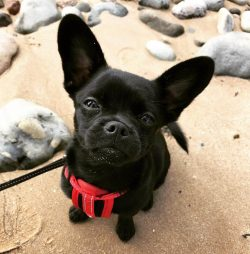 Howling French This Dog Is French Bulldog Cross Breeds Dog Dogmal Pomeranian Rottweiler Mix French Pomerdog Is A Mixed Breed A Cross Between Two Famous Dogbreeds Pomeranian Sale Pomeranian Rottweiler