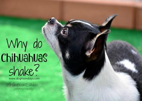 Medium Of Why Do Chihuahuas Shake