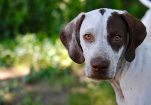 Sky, one of our Pointer out of Superior Pointers
