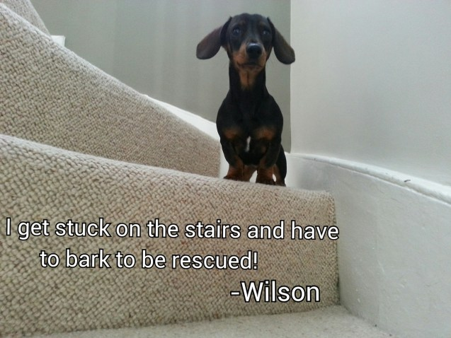 Wilson Our 5 Month Old Mini Dachshund Has Figured