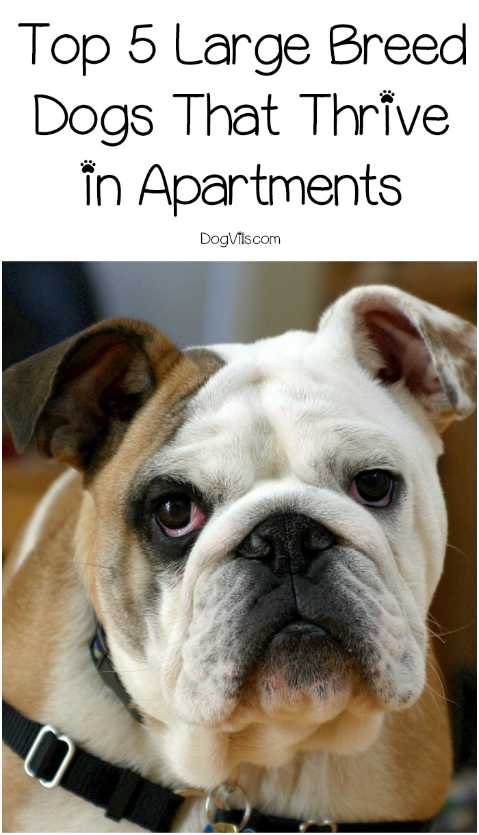 Large Of Best Dog Breeds For Apartments