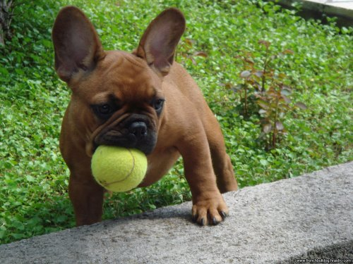 Medium Of Dog In French