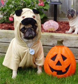 Especial Pug Pug Halloween Costume Photo Pug Halloween Costume Photo Spider Costume Pug Halloween Costume Pug
