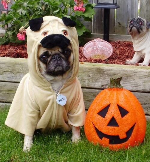 Especial Pug Pug Halloween Costume Photo Pug Halloween Costume Photo Spider Costume Pug Halloween Costume Pug
