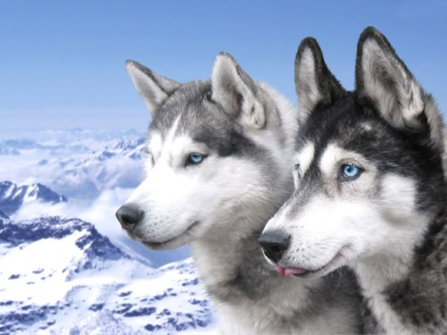 Medium Of Dogs With Blue Eyes