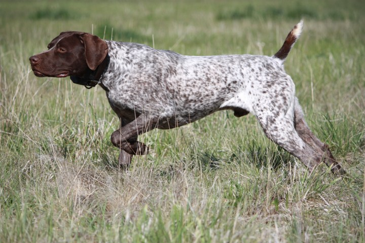 Pics Photos  Pet Wallpapers German Shorthaired Pointer Breed Pet.Funny German Shorthaired Pointer Pictures