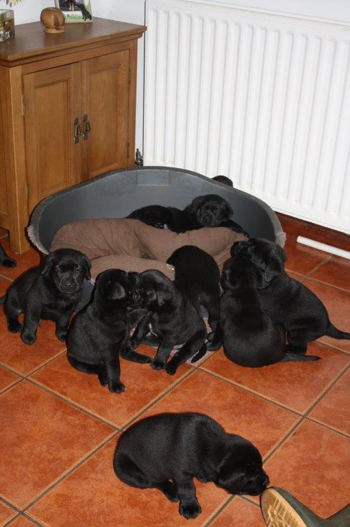 Dolwen puppies