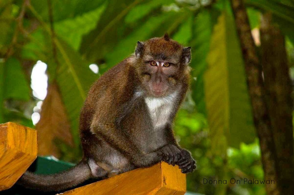 Palawan monkey at Underground River