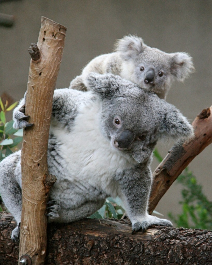 female-koala-joey