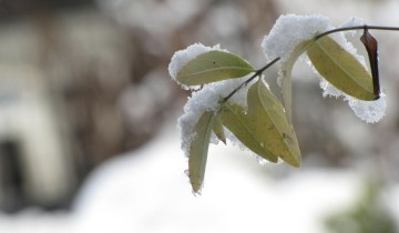 cold green leaves
