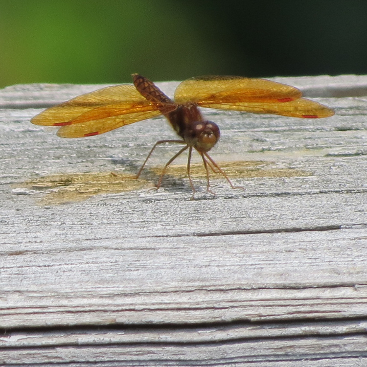 dragonfly with orange wings