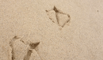 duck prints in the sand