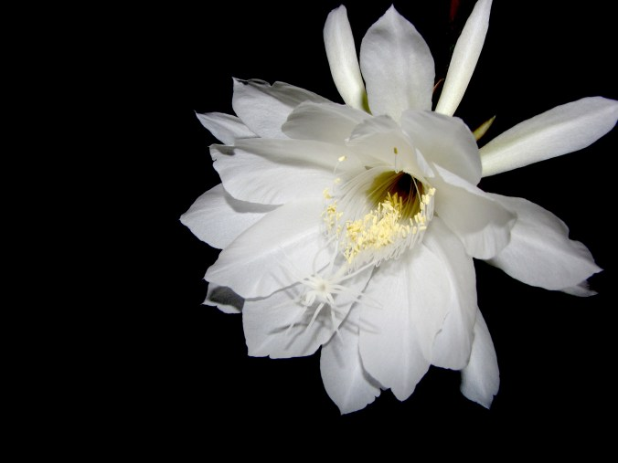 night-blooming_cereus