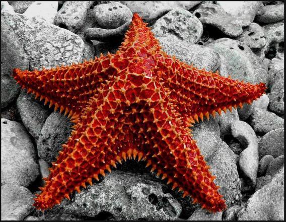 estrella de mar probablememte muerta