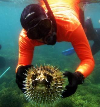 pez globo se infla como mecanismo de defensa ante el miedo causado por extraños