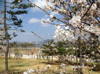 cherry blossom yeouido korea