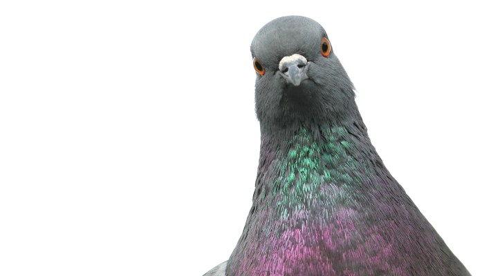 Be as Smart as a Pigeon: Knowing When Not to Follow Your Leaders