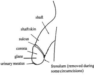 penis_anatomy1.jpg
