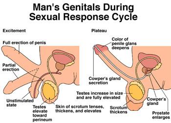 male_sexual_response.jpg