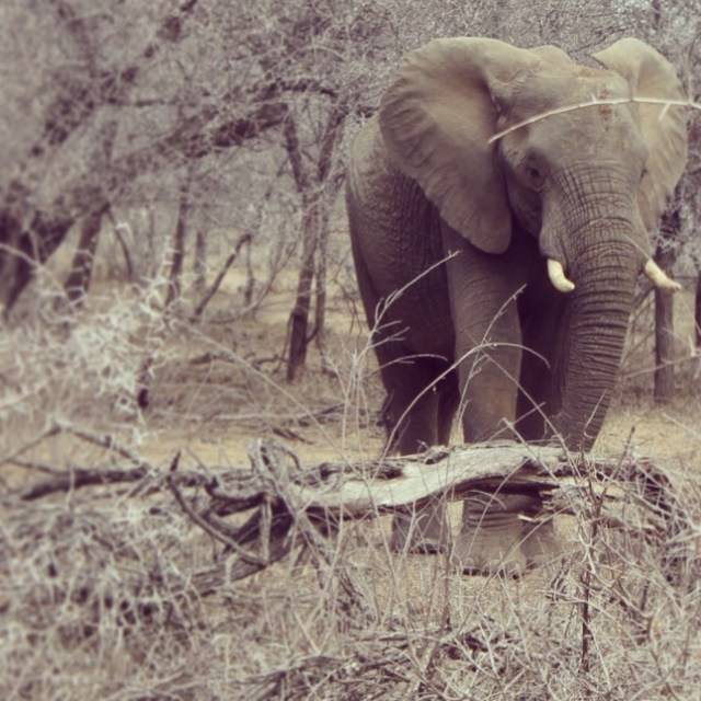 Kruger National Park Elephant