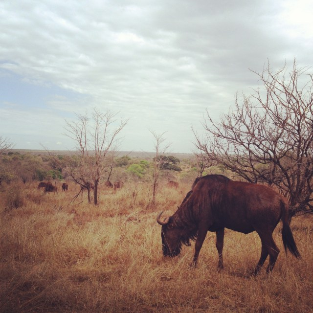 Kruger National Park Wildebeest