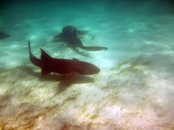swim with sharks punta cana