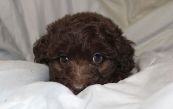 Red Girl - Standard Chocolate Aussiedoodle