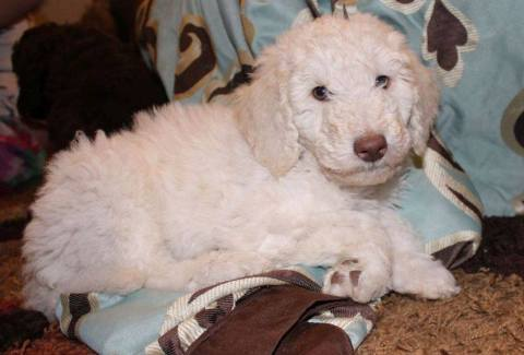 BABY GIRL - Cream Multigen Labradoodle