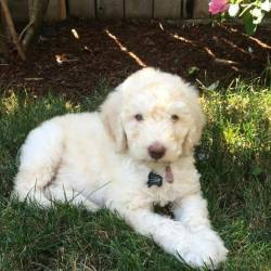 Baby Boy - Cream Multigen Labradoodle