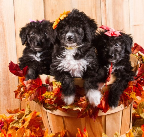 Aussie/Labradoodle Girls - The two bookend girls are the 2 that are Available